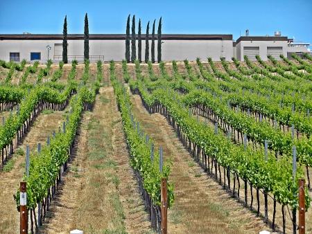 Grape Vineyard in Temecula wine country Stock Photo