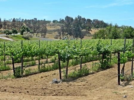 Temecula grape vineyard