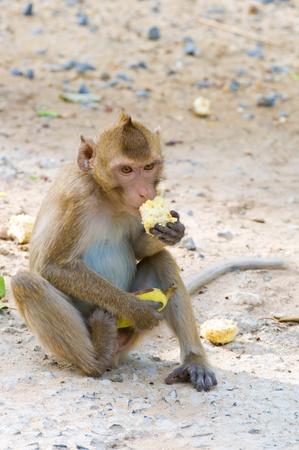 monkey eating a cornstalk photo
