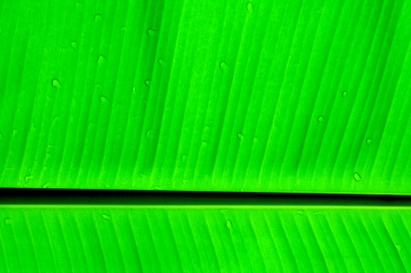 banana leaf background Stock Photo - 14470797