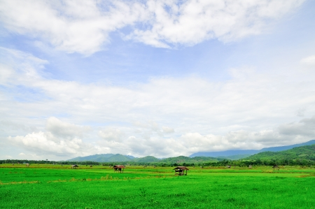 green field  rice from north Thailand  photo