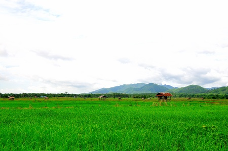 green rice field from Thailand  photo