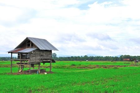 Hut in a Rice Field photo