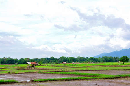 Rice field from Thailand  photo
