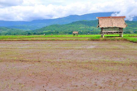 Grass Hut in a Rice Field  photo