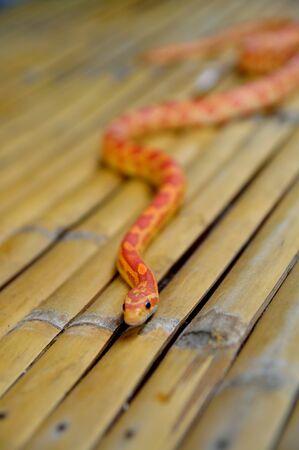 orange snake: Young orange snake