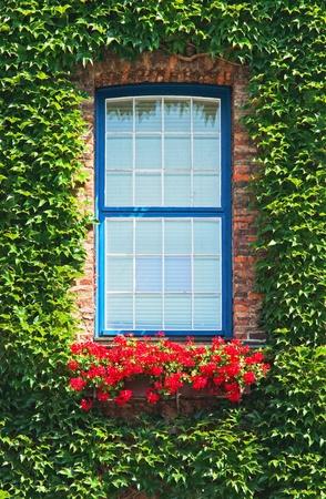 The green ivy curls round a window Standard-Bild