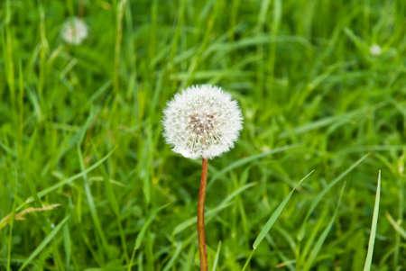 dandelion on the grass background Standard-Bild