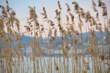 Reeds at a lake Stock Photo - 14484810