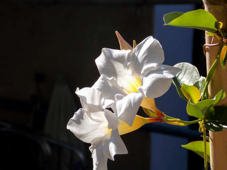 White Chilean Jasmine Close Up