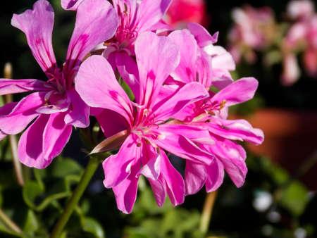 Red Ivyleaf Geranium Close Up Standard-Bild