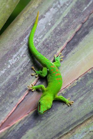 lagarto: Madagascar gecko Zool�gico de Zurich (Suiza) Foto de archivo