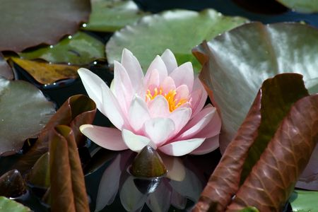 Pink Water lily (Nympheaceae) photo