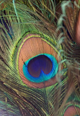 Fragmnet of colorful peacock feather photo