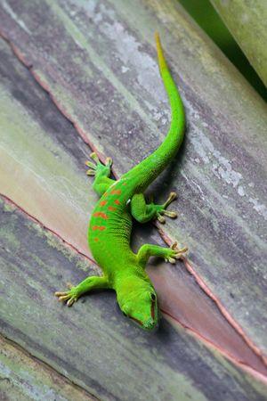 zurich: Madagascar gecko in Zurich Zoo (Switzerland)
