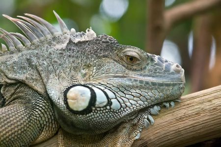 imperturbable: Iguana portrait (Zurich Zoo, Switzerland)