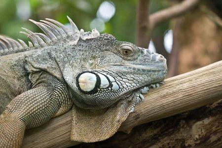 Iguana portrait (Zurich Zoo, Switzeland) photo