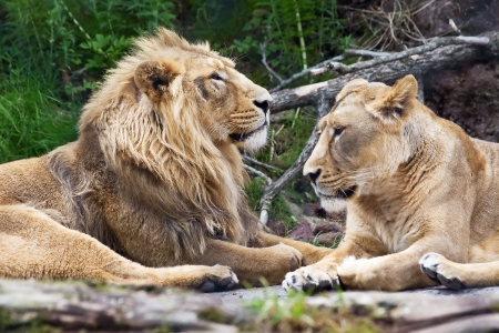 Lion family in the Zurich Zoo photo