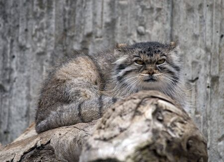 pallas: Manul (Pallas cat) in Zurich Zoo (Switzerland)
