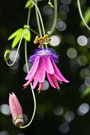 Passifloraceae in the Zurich botanical garden photo