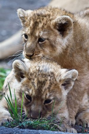 Young lions born in Zurich zoo Stock Photo - 5136561
