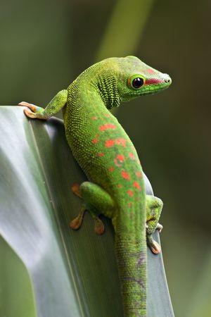 Green gecko on the leaf photo