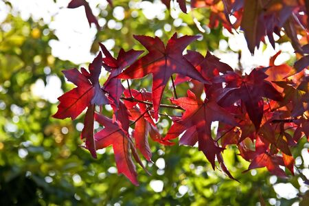 Maple leaves against green background photo