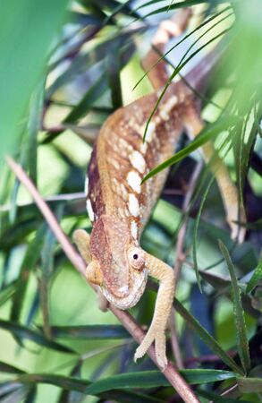 Brown chameleon on the tree photo