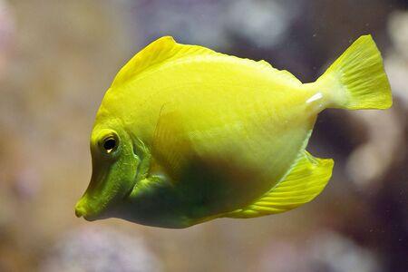 Yellow fish in tank (Zoo Zurich) photo