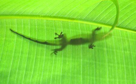 Green madagascarian gecko on the leaf photo