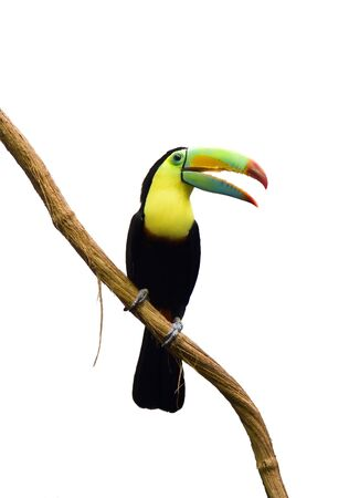 rainforest animal: Tucan bird isolated on white