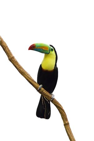 coloful: Coloful tucan isolated on white Stock Photo