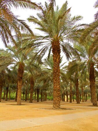 Palm garden in the Riyadh city, Saudi Arabia  photo
