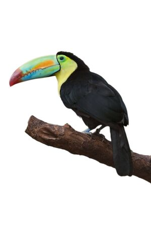 toucan: Colorful tucan isolated on white