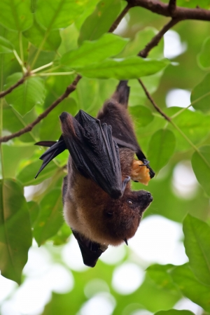 Fruit bat (pteropus giganteus) hanging on the tree photo