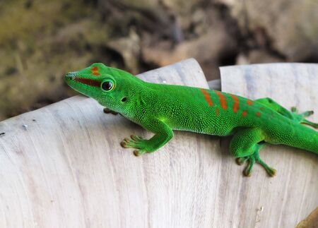 imperturbable: Green Gecko