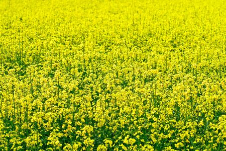 biodiesel: Rape field seed fro bio-diesel production