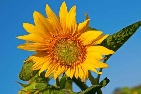 Bright sunflower against blue sky Stock Photo - 6708599