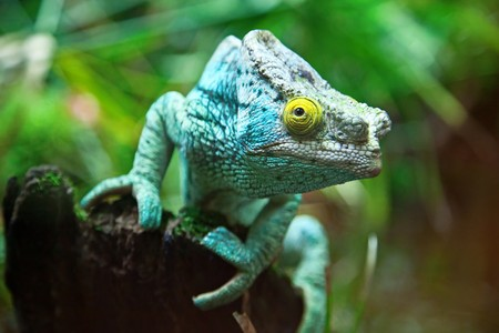 Giant madagascar chameleon on the tree Stock Photo