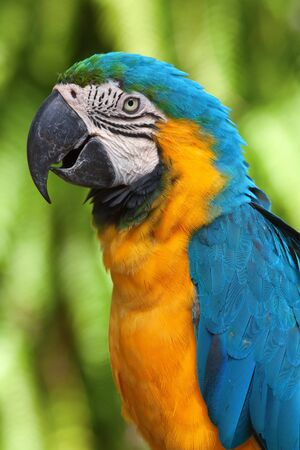 parrot tail: Colorful yellow-blue ara parrot