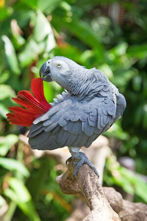 African grey parrot in the jungle photo