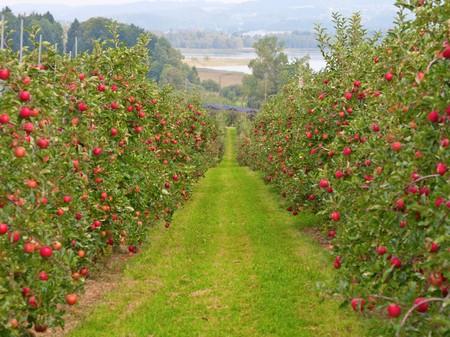 Apple garden full of riped red apples photo