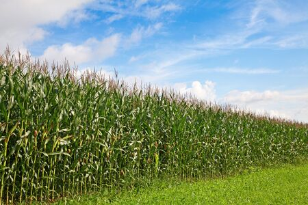 Corn field under blue sky and clouds Stock Photo - 7765013