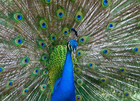 Beautiful color peacock with fully opened tail Stock Photo - 7781386