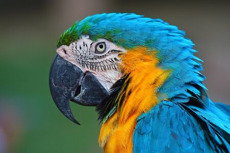 ararauna: Loro, guacamayo azul y amarillo (Ara ararauna)