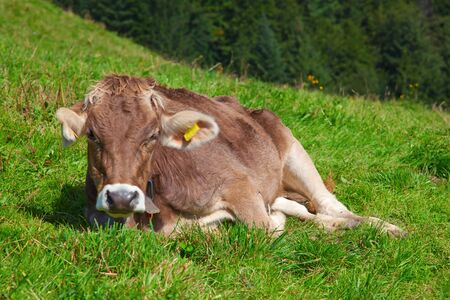 Calf on the green grass in swiss alps Stock Photo - 7877190