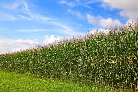 Cornfield under a blue sky with some clouds Stock Photo - 7877195