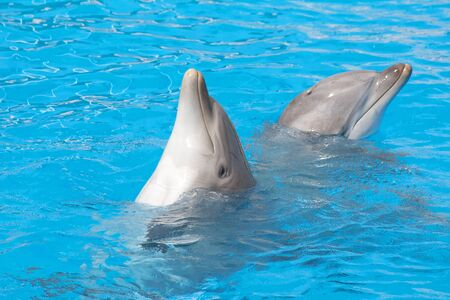 Pair of bottlenose dolphins dancing in the water photo