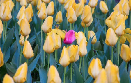 Colorful Tulip flower with morning dew drops photo