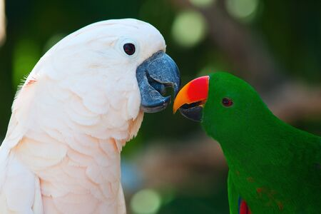 eclectus roratus: Cockatoo and the male eclectus parrot Stock Photo